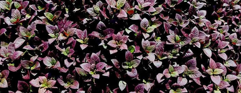 10-Plants-Aussie-Backyards-Love-INLINE-1.jpg